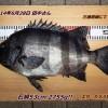 三浦地磯で石鯛53cm2755g出ました!