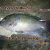口太メジナ39cm950g&マアジ37cm