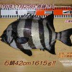 石鯛42cm&寒鯛48cm!