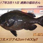 重量級口太メジナ42cm1400g!