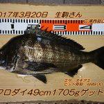 クロダイ49cm1705g釣れました!