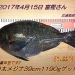 重量級です!口太メジナ39cm1190g!